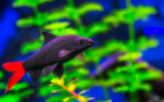 Аквариумная рыбка лабео