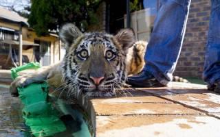 Тигры в домашних условиях