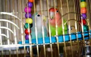 Содержание попугаев неразлучников