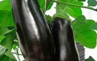Как собрать семена баклажан