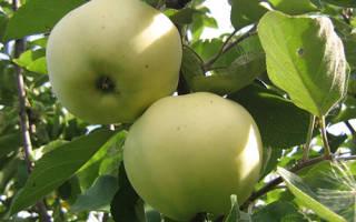 Папировка яблоня описание
