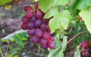 Виноград памяти хирурга