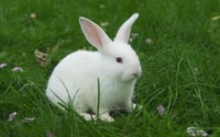 Красная моча у кроликов
