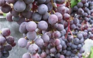 Сорт винограда загадка