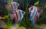 Какие рыбки уживаются со скаляриями