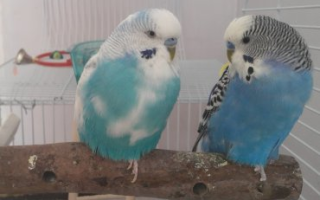 Сепия для попугаев