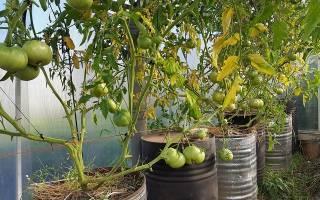 Выращивание помидор в бочке
