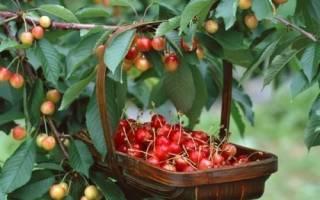Через сколько лет плодоносит черешня после посадки