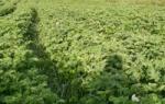 Что сажать после картошки