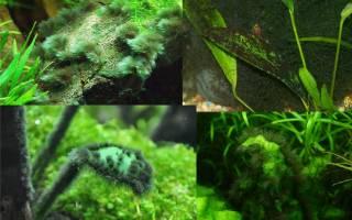 Растения в аквариуме чернеют