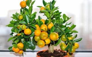 Почему мандарин не цветет