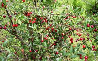 Сорт вишни аморель