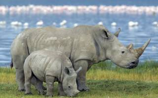 Толщина кожи носорога