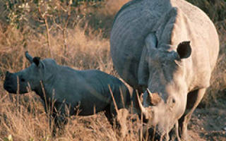 Носорог где живет