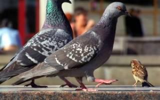 Где живет голубь