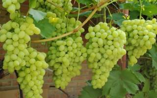 Когда надо пересаживать виноград