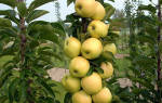Колоновидная яблоня медок