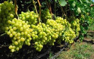 Через сколько плодоносит виноград