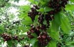 Сорт черешни мелитопольская