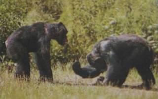 Чем питаются шимпанзе