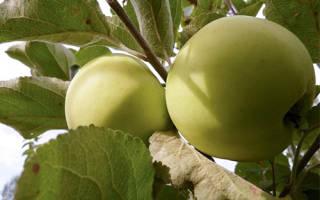 Яблоня народное описание сорта