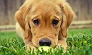 Орхиэктомия у собак