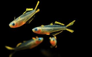 Рыбка попондетта фурката