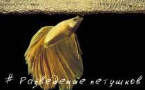 Петушки рыбки размножение