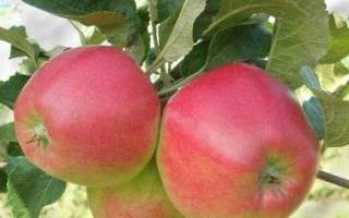 Квинти яблоня описание