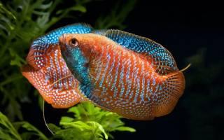 Лялиусы рыбки содержание