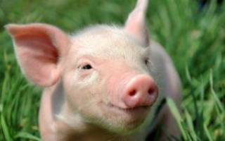 Вакцина против чумы свиней