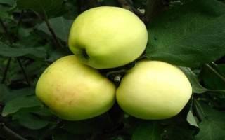 Яблоко снежный кальвин фото