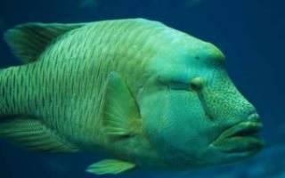 Рыба с большими губами