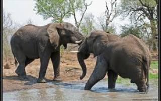 Почему слон боится мыши