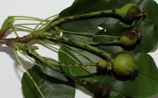 Чернеют листья груши