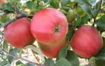 Лигол сорт яблок описание