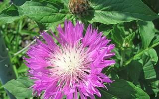 Василек садовый многолетний посадка и уход