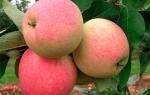 Мечта яблоня описание