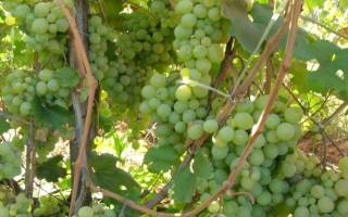 Кеша виноград описание