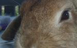 У кролика упало ухо