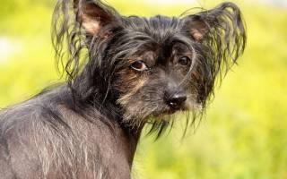Маленькие собаки с большими ушами