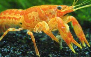 Карликовый оранжевый рак