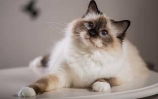 Сколько живет сиамская кошка