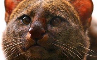Ягуарунди цена котенка