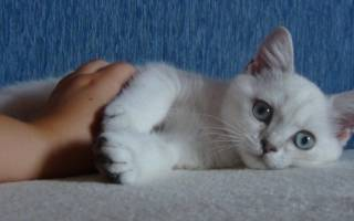 Кошки колор пойнт