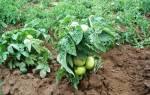Сорта штамбовых томатов