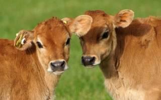 Как назвать теленка