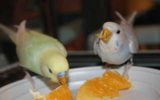 Можно ли волнистым попугаям апельсин