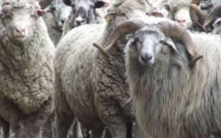 Кавказец и овца