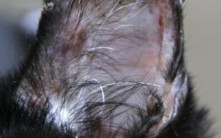 У кошки на ушах коросты